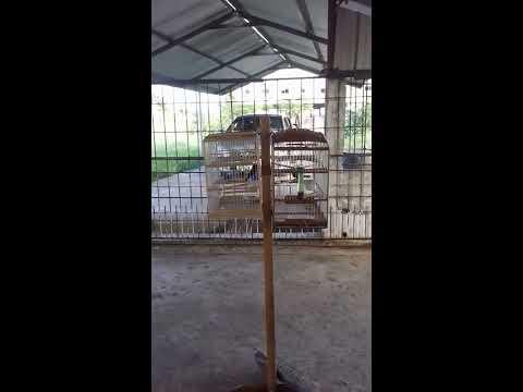 Bullfinch in trinidad ......Jet
