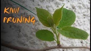 Kiwi Pruning - Prepąring for Exotic Fruits
