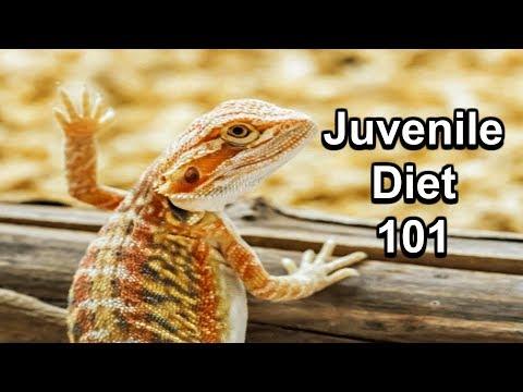 Juvenile Bearded Dragon Diet 101