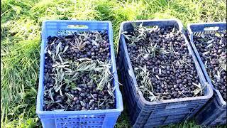 Bahçelerimizde zeytin hasadı