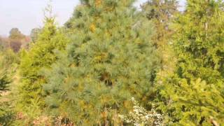 Only Thuja