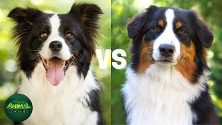 Border collie vs Australian Shepherd Differences  Which Breed Is Better?