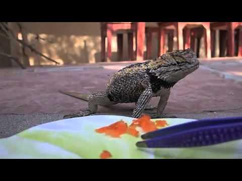 Wild Desert Spiny Lizard Cruz Eats His Veggies