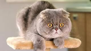 Scottish fold cats  Beautiful Scottish fold Cat Videos Compilation #09 | Spark of Nature