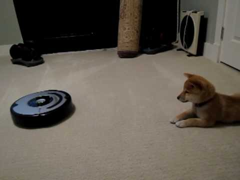 Shiba Inu puppy sees a Roomba for the first time
