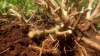 Video Berburu bonsai lantana lok.bendungan loyang cikedung indramayu download MP3, 3GP, MP4, WEBM, AVI, FLV Agustus 2018