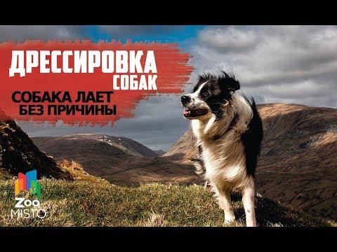 Собака лает без причины   Как правильно дрессировать собаку   Дрессировка и воспитание собак
