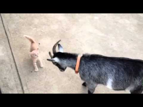 Thumbnail for Cat Video Goat v. Kitten