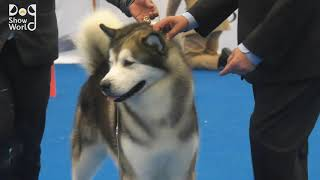 International Dog Show Winner Siberian Husky Dog