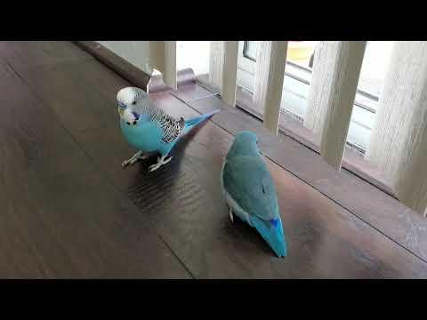 When a Parakeet