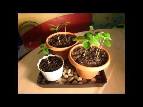 Как правильно вырастить персик из косточки?