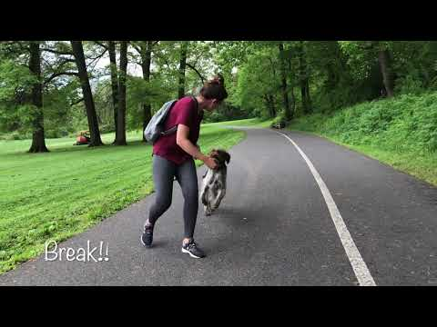 Peckville Dog Trainers ||| OLK9 Lehigh Valley ||| 10 Month Old WireHaired Pointer Griffon, Emerson