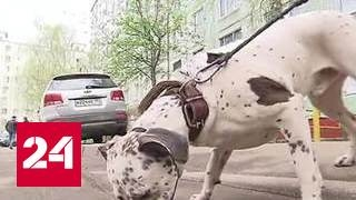 В Москве бойцовая собака загрызла пуделя