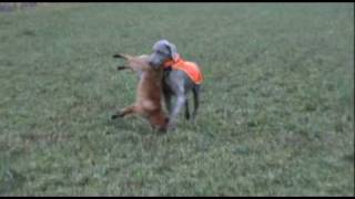 Weimaraners Tiki & Yaya Fox Hunting