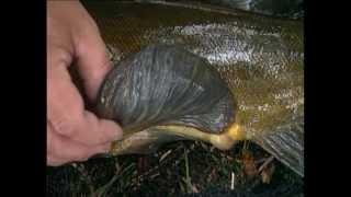 Erfolgreich angeln auf Schleie