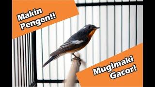 Burung Sikatan Mugimaki Robin Flycatcher Gacor Konslet