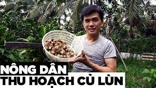 Cách nông dân thu hoạch củ lùn | Hương Vị Miền Tây