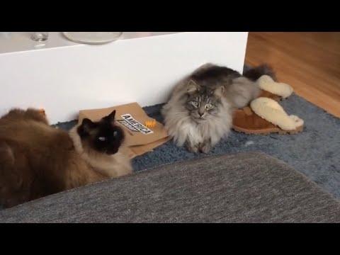 Maine coon cat vs Ragdoll cat