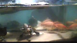 red ear slider turtles and the biggest goldfish in new jersey