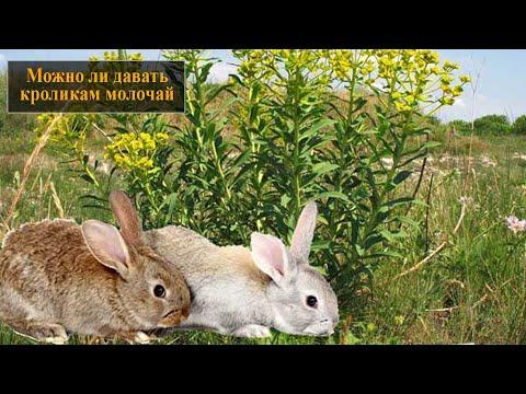 Вопрос: Можно ли давать кроликам чистотел, зверобой, спорыш В каком количестве?
