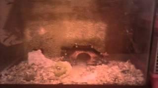 Мои хомячки