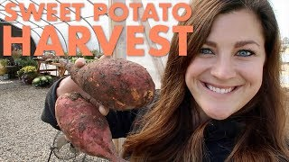 Harvesting Sweet Potatoes! 👩‍🌾🥔// Garden Answer