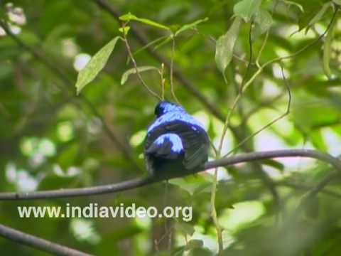 Asian Fairy Bluebird or Irena Puella