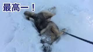 富士すばるランド ドギーパークのワンちゃんたち(ドギッコ)が雪の中ど...