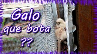 Briga no galinheiro - Pets Na Net