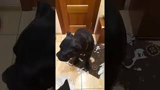 ШОК!!! Что натворила собака Кане Корсо дома!!!