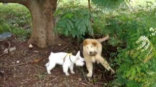 Miniature Schnauzer & Golden Retriever Fight