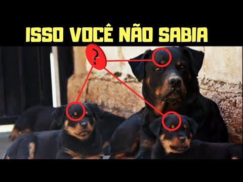 TUDO SOBRE A RAÇA ROTTWEILER, DE FILHOTE A ADULTO Projeto Cão Perfeito.