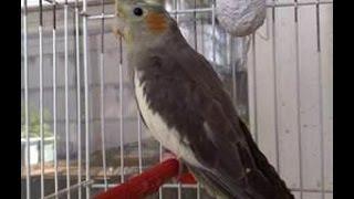 Продажа попугаев корелла в Туле.