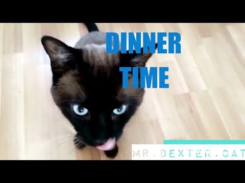 NOISY SIAMESE CAT (cat asking for his meal)