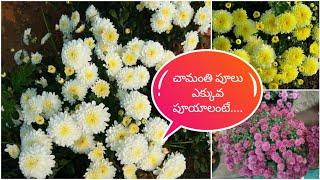 చామంతి పూలు బాగా పూయాలంటె ఇలా చేయండి...|| Tips to grow more chrysanthemum #flowers Tamada media#DIYS