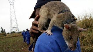 ♦Les rats géants qui déminent les zones à risque♦ HD