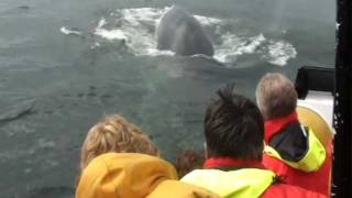 Baleines du St-laurent , plogée de 4 rorquals commun