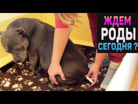 Беременность у собак. Весь день провели вместе с собакой в ожидании родов. Дождемся?