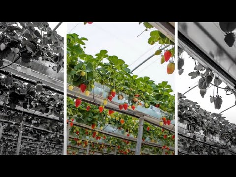 WOW!!! Amazing Agriculture Technology - Hydroponic Strawberry Cultivation