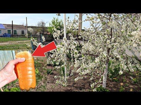 Опрыскайте этим секретным народным средством сливу и вишню во время цветения и после него!