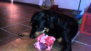 Rottweiler Eating  Two Pork Hearts, Trachea And Bit Of Lamb Liver