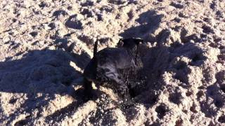 Callum The Schnauzer X Kerry Blue Terrier, In Digging Mode!