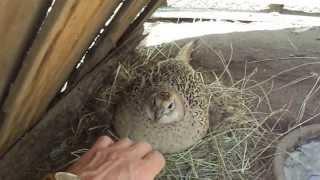 Вольерная самка фазана на кладке яиц. Птенец сбежал :)