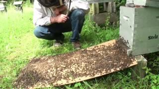 Abeilles. Un essaim entre dans une petite ruche