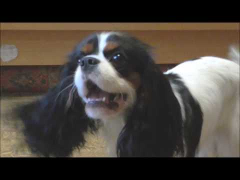 "Cavalier King Charles Spaniel - ""Let's play !"""