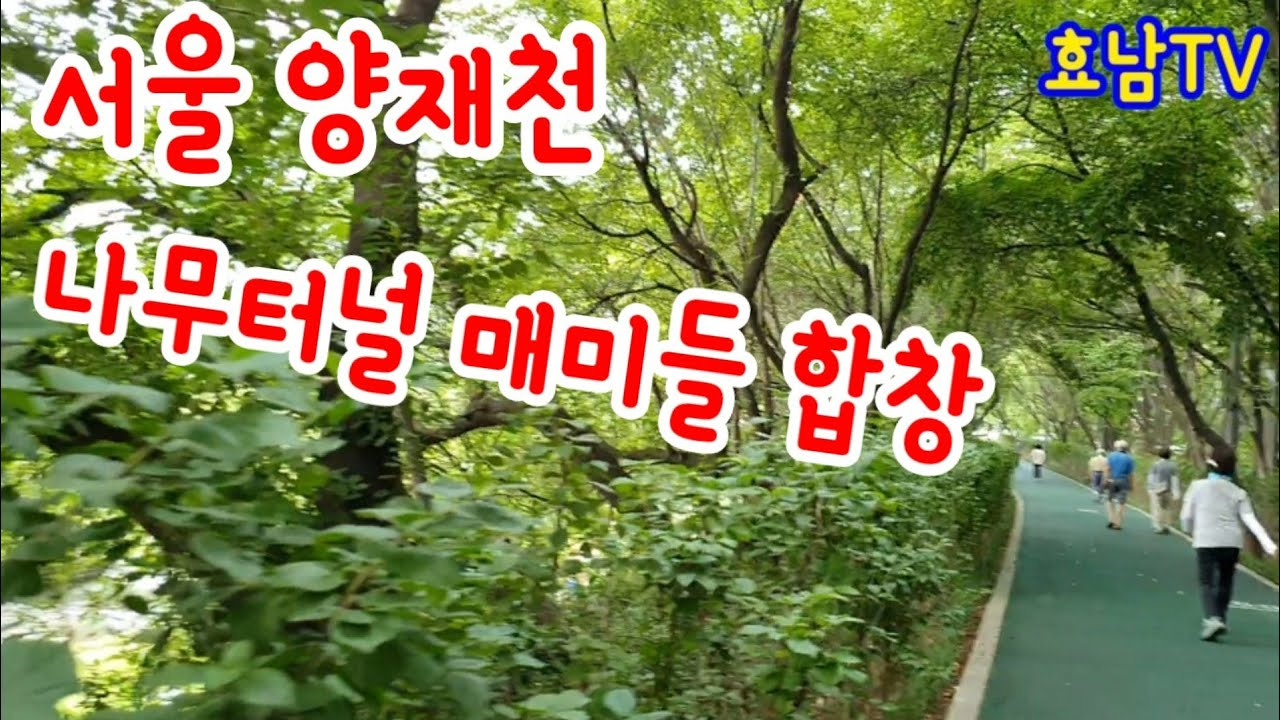 서울 양재천 나무터널 매미들 합창