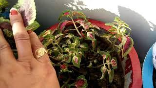 ऐसा करने पर कोलियस बनेगा घना और सुंदर ,coleus plant ki care,anvesha,s creativity