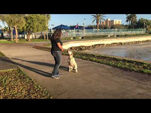 Dot | English Foxhound | Dog Training St Petersburg FL