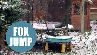 Cute fox caught bouncing on a snow-covered trampoline - just like the John Lewis advert