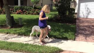 American Bulldog - No Jumping or Pulling on the Leash - Dog Training of Fort Myers - Patrick Logue